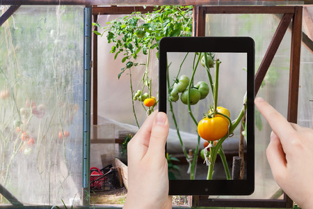 hotbed: travel concept - tourist takes picture of green tomatoes on bush inside greenhouse on smartphone,