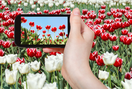 photographing flower concept - tourist takes picture of meadow of red and white ornamental tulips on smartphone, photo