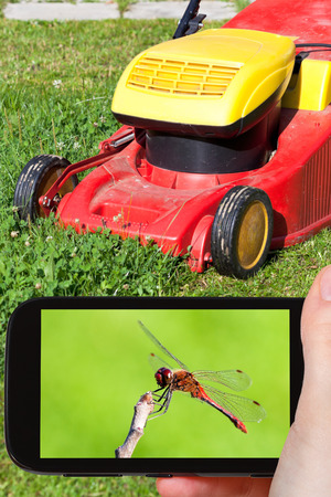 crocothemis: travel concept - tourist takes picture of red dragonfly on backyard in summer day on smartphone,