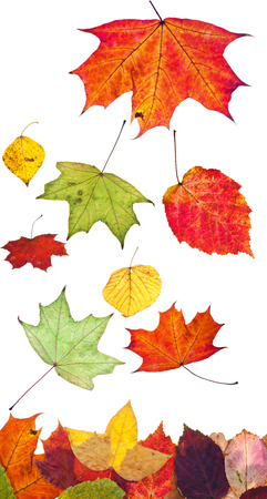 aspen leaf: multicolored fallen autumn leaves isolated on white background
