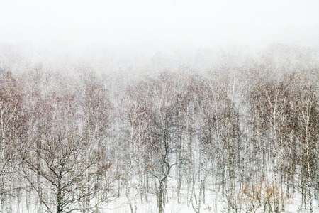 a blizzard: oak and birch trees in snow blizzard in forest in spring