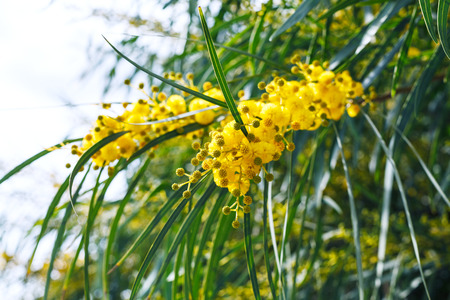 Yellow flowers of mimosa tree acacia pycnantha golden wattle stock photo yellow flowers of mimosa tree acacia pycnantha golden wattle close up in spring sicily mightylinksfo