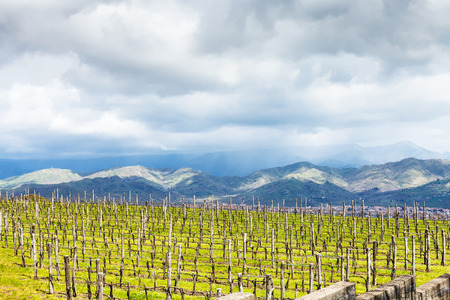 an agricultural district: empty vineyard in Etna agricultural region in spring, Sicily, Italy