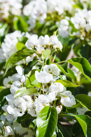 day flowering: twig of flowering apple tree in spring day Stock Photo