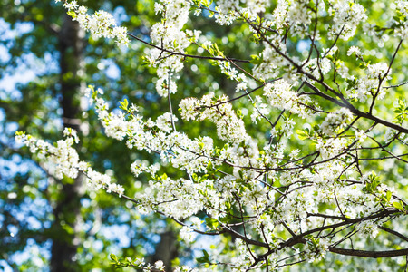 day flowering: flowering cherry tree in sunny spring day Stock Photo