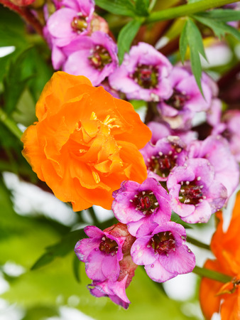 garden Trollius and bergenia flowers close up in posy photo