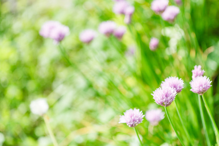 natural background with pink flowers of chives herb on green summer meadow photo