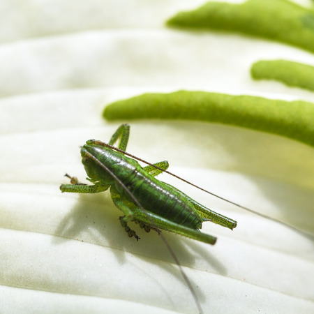 grig: grasshopper on white leaf of Funkia plant close up