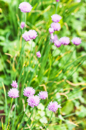 green meadow with flowering chives herb in summer photo