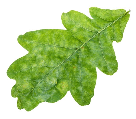 leaf close up: fresh green oak leaf close up isolated on white background