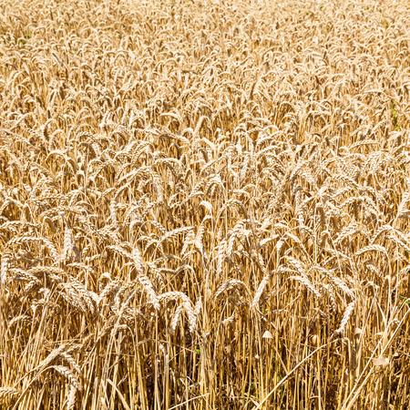 kuban: ripe wheat in Kuban region, Russia in summer day