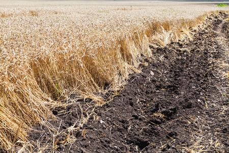 kuban: plowed land and field with ripe wheat in Kuban region, Russia