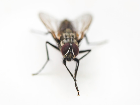 housefly: fly rubs legs close up on white background