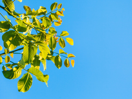 walnut tree: natural background - green leaves of walnut tree and blue sky in summer