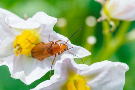 incest: soldier beetle in potato flower close up in summer garden Stock Photo