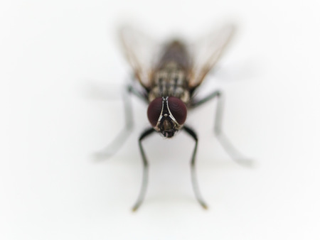 housefly: frontal view of housefly close up on white background