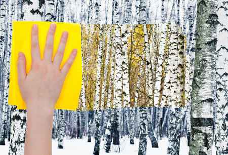 deletes: season concept - hand deletes white birches in winter forest by yellow cloth from image and summer woods are appearing Stock Photo
