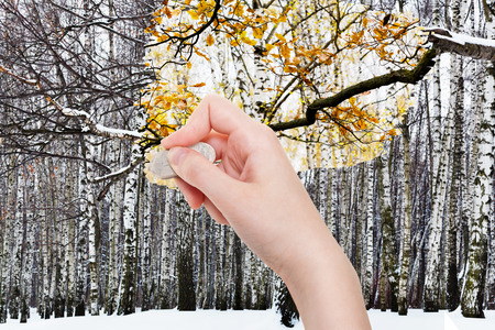 deletes: season concept - hand deletes winter forest by rubber eraser from image and yellow leaves on tree branch are appearing