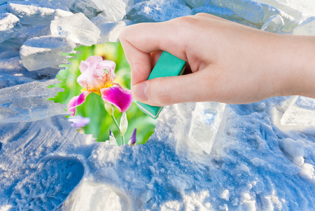 deletes: weather concept - hand deletes ice and snow by rubber eraser from image and iris flowers on green meadow are appearing Stock Photo