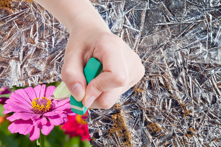 deletes: weather concept - hand deletes frozen ice crystals by rubber eraser from image and butterfly on pink flower are appearing