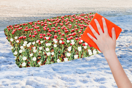 deletes: season concept - hand deletes snow surface by orange cloth from image and tulip flowers are appearing