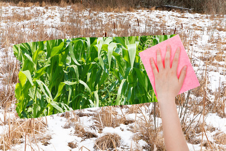 deletes: season concept - hand deletes frozen swamp by pink cloth from image and green corn plants are appearing