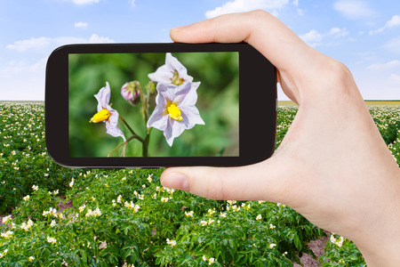 photo shooting: travel concept - tourist takes picture of potato flowers at potatoes field on smartphone