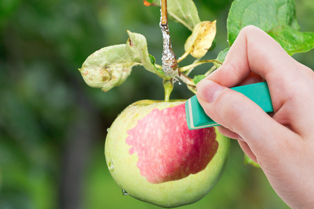 deletes: season concept - hand deletes green apple by rubber eraser from image and red ripe fruit is appearing