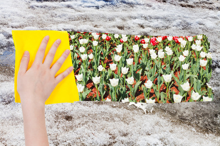 deletes: season concept - hand deletes melting snow by yellow cloth from image and tulip flowers are appearing