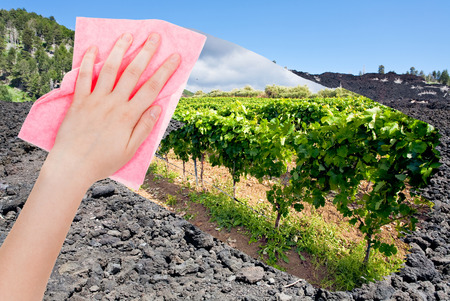 volcano slope: travel concept - hand deletes hardened black lava on Etna volcano slope by pink cloth from image and green vineyards are appearing Stock Photo
