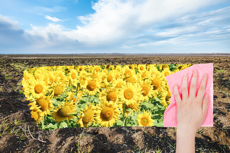 deletes: season concept - hand deletes spring plowed field by pink cloth from image and yellow sunflowers are appearing
