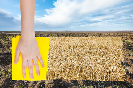 deletes: season concept - hand deletes spring plowed field by yellow cloth from image and ripe wheat plantation is appearing Stock Photo