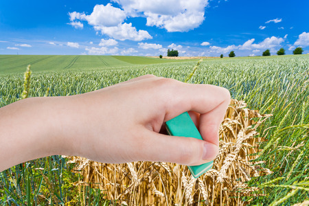 deletes: season concept - hand deletes green wheat field by rubber eraser from image and yellow ripe wheat ears are appearing