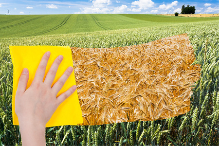 deletes: season concept - hand deletes green wheat ears by yellow cloth from image and yellow ripe wheat ears are appearing