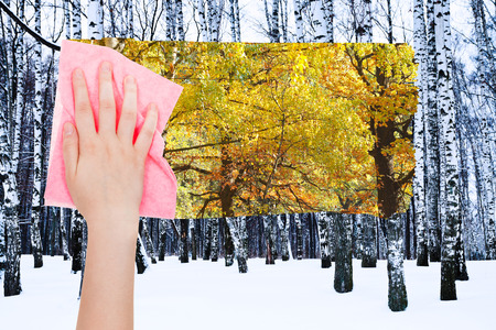 deletes: season concept - hand deletes bare birch trunks in winter by pink cloth from image and autumn woods are appearing
