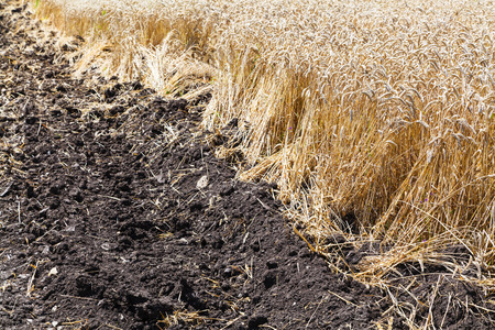 plowed: plowed field and plantation with ripe wheat