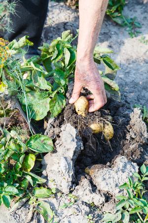 campesino: la cosecha - campesino recoge las patatas en el jard�n Foto de archivo