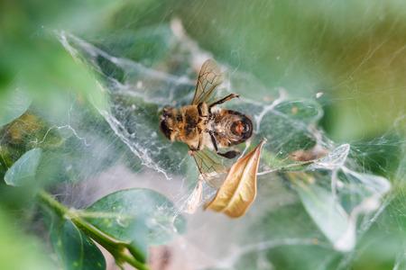 boxwood: dead bee in cobweb close up on boxwood bush