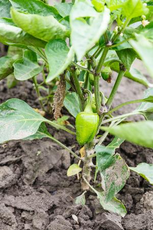 bush pepper: bush with green bell pepper on garden bed Stock Photo