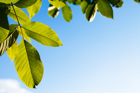 walnut tree: natural background - illuminated green leaves of walnut tree and blue sky in summer