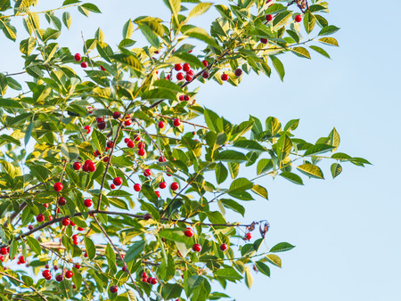 cherrytree: natural background - blue sky and branch of tree with ripe red cherry in summer