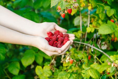 harvesting - handful of ripe raspberries with green bush on background
