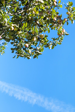 green apples: green branch with ripe yellow and pink apple fruits with blue sky background in orchard in summer Stock Photo