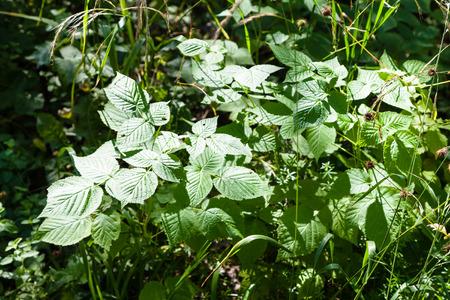albero nocciola: giovane crescita del nocciolo illuminato dal sole in foresta in estate Archivio Fotografico