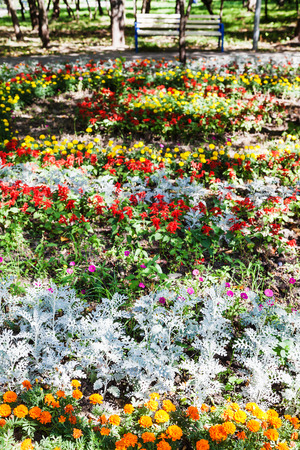 flowerbed with dianthus flowers and jacobaea (cineraria maritima) plant in urban garden