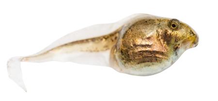 animals amphibious: one tadpole of frog close up isolated on white background