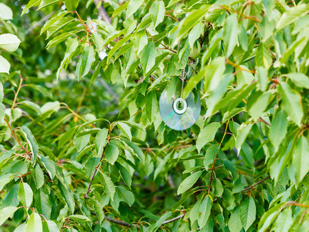 tree disc: shiny compact disc on black cherry tree to scare birds in orchard
