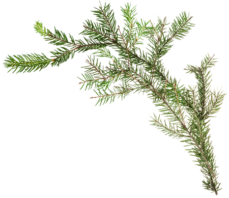 simple: detail of christmas frame - one simple fresh twig of fir tree on white background