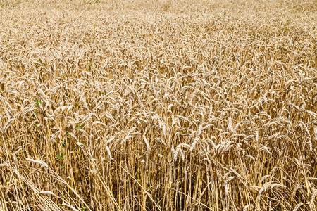 kuban: field of ripe wheat in Kuban region, Russia in summer day