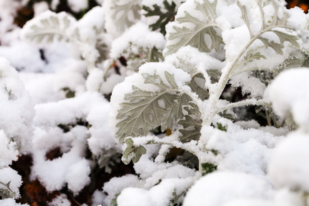 miller: first snow on dusty miller plant close up in autumn Stock Photo